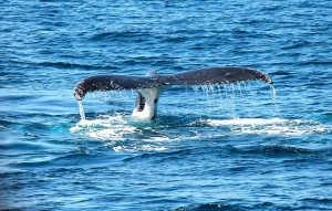 WA_humpback-whale