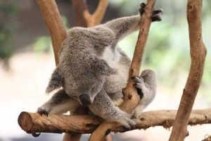 travel_brisbane_koala